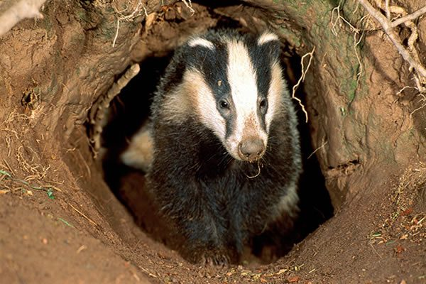 Badger setts damaged in two incidents in East Yorkshire